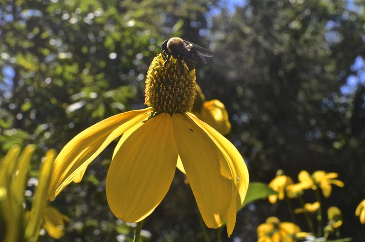 Buzzing Bee - PhotosbyNan