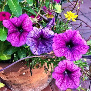 Fall petunias