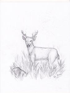 sketch of deer in tall grass