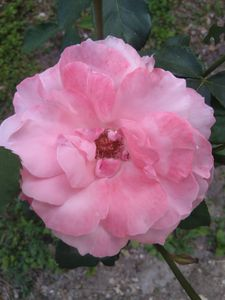 Pink rose - Love of nature