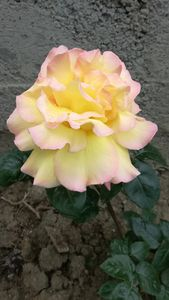 Rose - Love of nature