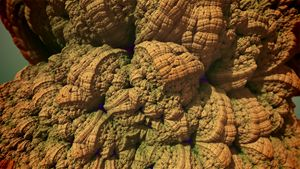 Helmet Coral