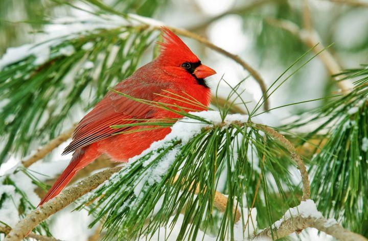 male cardinal enjoys the winter sun - leftysphotos