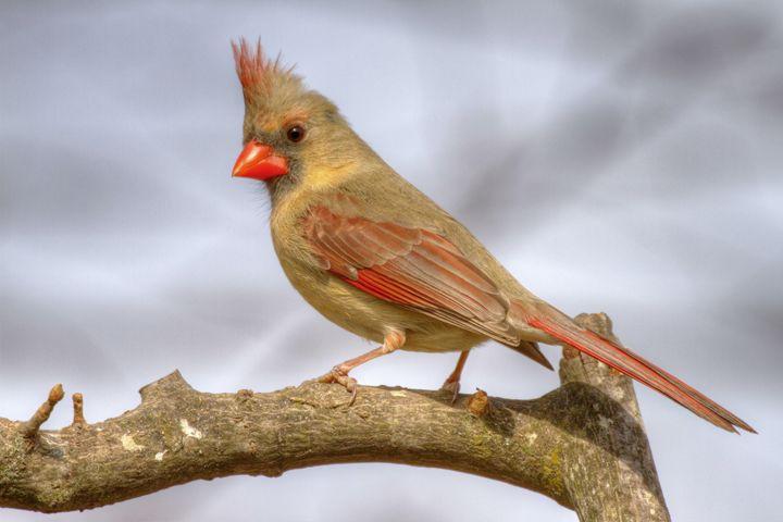 female cardinal 2013 - leftysphotos