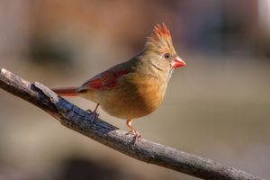 female cardinal 4 2012