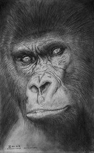 Highland Gorilla, An ancient race.