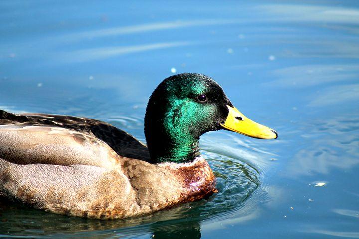 Duck 3 - Shaywolf's Photos