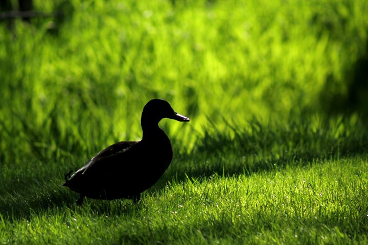 Duck 4 - Shaywolf's Photos