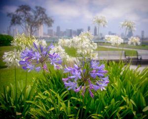 Purple Flowers in San Diego