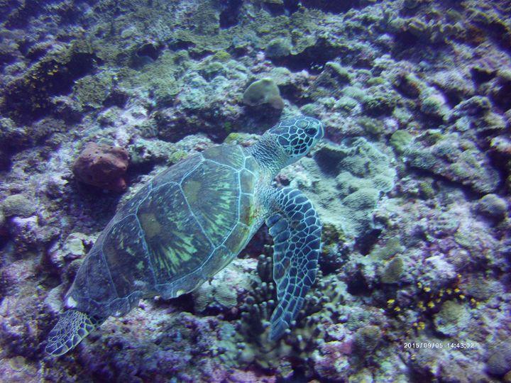 Turtle - Christopher Monticue
