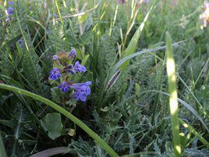 Blue field flower