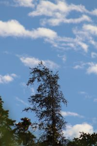 Pine tree with clouds