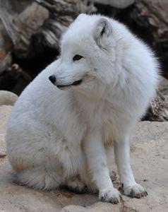 Arctic Fox - Tina Abidi Photography