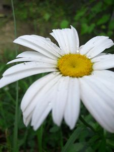 Drops of water on a camomile