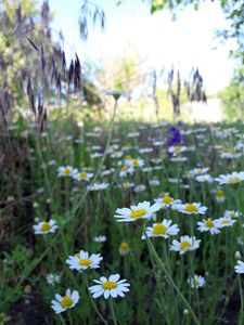 Chamomile growing in the field