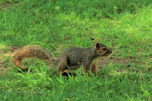 Fox Tail Squirrel with green grass