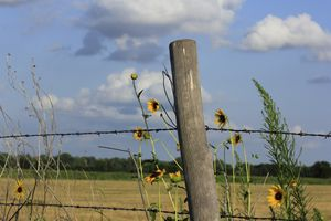Wild Sunflowers with a fence and sky