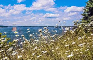 Daisies By The Sea, Vinalhaven, ME - Saco River Art & Photography