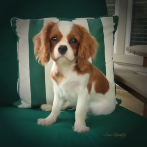 KING CHARLES CAVALIER PUPPY - SHAYNA PHOTOGRAPHY