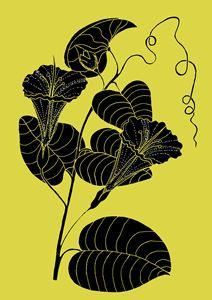 Bush Potato - Ipomoea costata - Ivos Art