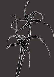 Spider Orchid - Ivos Art