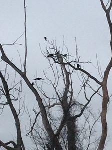 Black Birds in the Trees