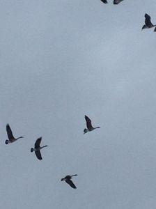 Sky high Geese - Natural Wonders