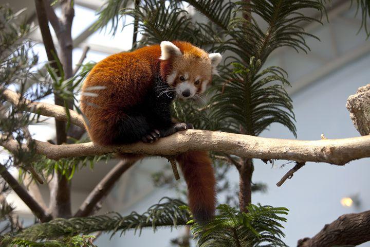 Red Panda - Through My Eyes