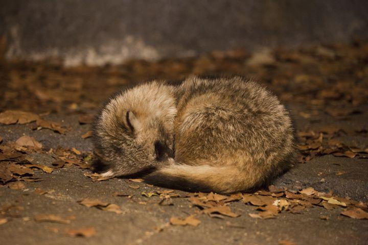 Sleeping Raccoon Dog - Through My Eyes