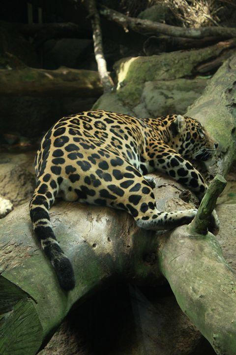 Leopard - Through My Eyes