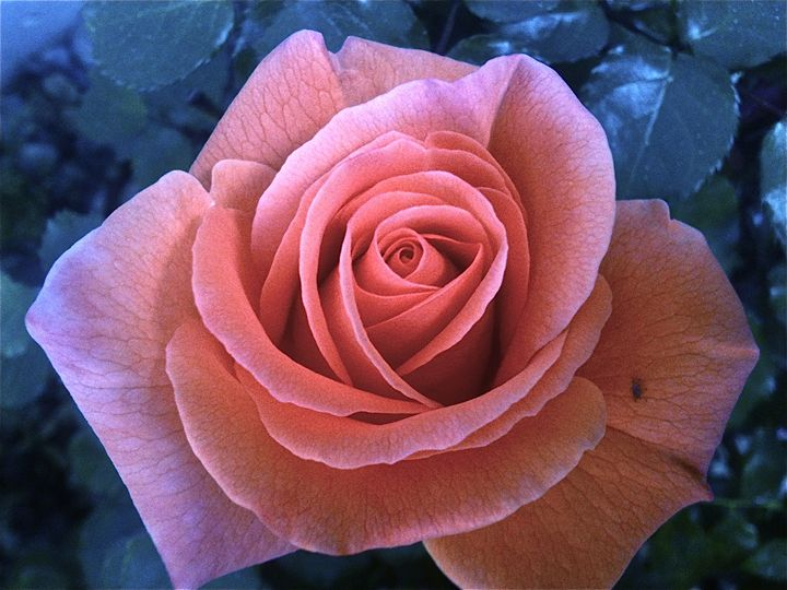 Rose without Thorns - Georgianne Rowe