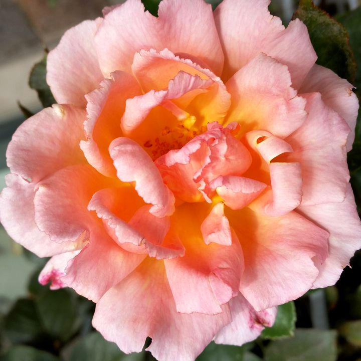 rose in autumn - feiermar