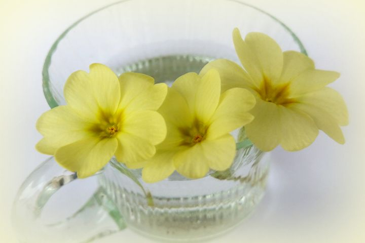 primrose in a coffee cup - feiermar