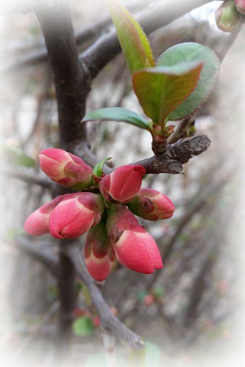 wild quince blooming - feiermar