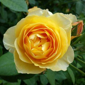 rose and rosebud