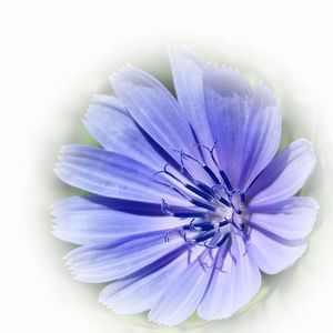 purple blue chicory