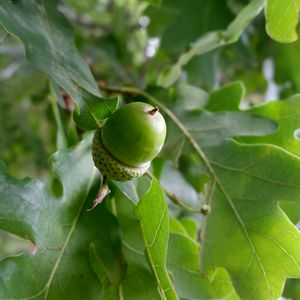 an oak fruit