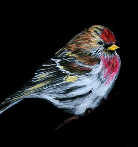 Redpoll Painting on Black