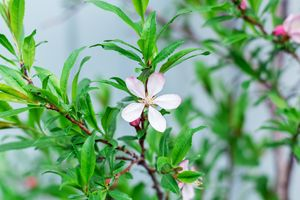 barberry flower