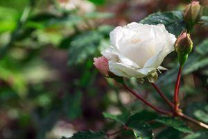 raindrops on a white rose