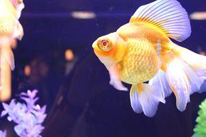 Gold Fish - Torri